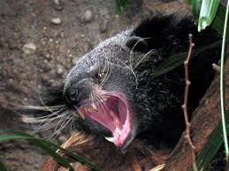 Small Picture 194 best Animals civets fossa genets linsang binturong