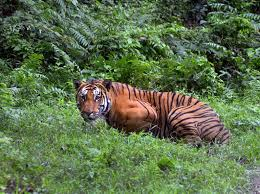 number of tigers in the wild is rising wildlife groups say