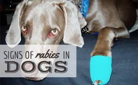 rabies symptoms in dogs com rabies symptoms in dogs