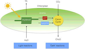 photosynthesis essays in biochemistry figure