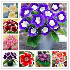 100 pcs bag imported gloxinia bonsai plant perennial sinningia gloxinia flower potted planting for home
