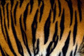 Tiger Pattern Adorable Counting Tigers By Their Stripes National Geographic Blog