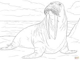 Small Picture Adult Male Walrus coloring page Free Printable Coloring Pages