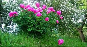 Un Jardín SupercalifragilísticoCuidados De Los Rosales