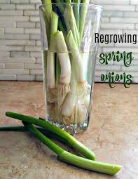 regrow spring onions in water fun