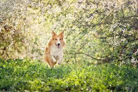 Border Collie Dog Running On A Background Of White Flowers In.. Stock Photo, Picture And Royalty Free Image. Image 18491309.
