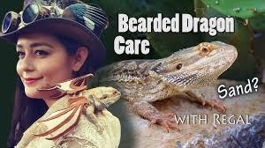 bearded dragon care habitat feeding lighting for babies to s