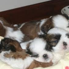 shih tzu breeder in north carolina shih tzu puppies akc shih tzus red shih tzus shih