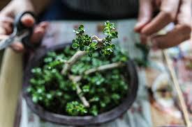 Pianta da interno tropicale con foglie grandi. Bonsai Facili Per Principianti 5 Piante Adatte Davvero A Tutti Ohga
