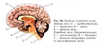 Строение головного мозга Функции продолговатого и среднего мозга  Отделы головного мозга