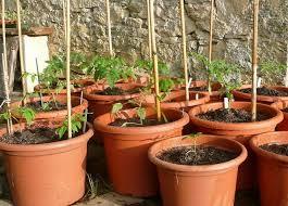 container gardening tomatoes. Exellent Container Tips For Growing Tomatoes In Containers To Container Gardening R