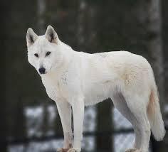 white husky wolf mix. Delighful Wolf White Siberian Husky Wolf Hybrid  Photo2 On Husky Wolf Mix W