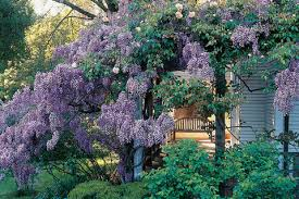 Today, there is a total of 16 wisteria coupons and discount deals. Choosing A Wisteria Sunset Magazine