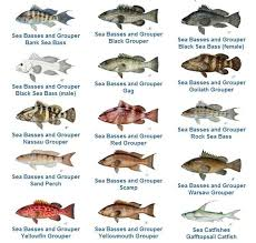 Grouper Species Chart Grouper Fishing Reopens May 1 In The Florida Keys
