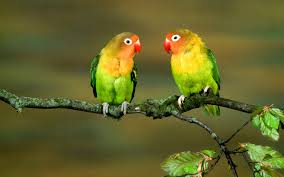 cute couple love birds wallpaper