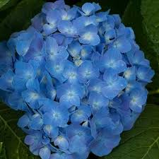 top 20 blue flowers for your garden