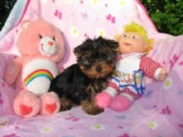 cute yorkie puppies for sale. Modren For Intended Cute Yorkie Puppies For Sale