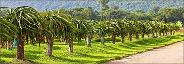 Dragon Fruit On Tree In Thailand Stock Photo Picture And Royalty Dragon Fruit On Tree