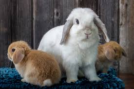 Mini Lop Colour Chart Holland Lop Color Guide With Photos Ohio Holland Lops