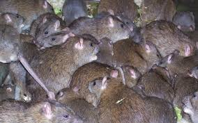 follow links to find out how to get rid of rats outside in your yard or garden