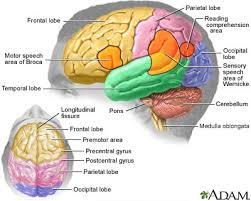 Brain Functions And Brain Areas Mybraintest