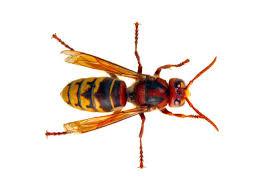 images?q=tbn:ANd9GcT CCn VWuSMZLwg92kmlfITPEzx0hlkEtNtA&usqp=CAU - Guêpes frelons, ALLO FRELONS, destruction, élimination de nids