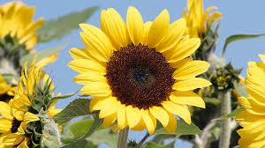 sunflowers to grow in your garden