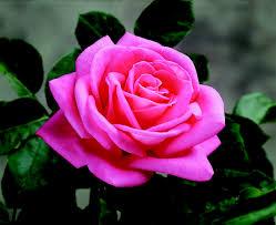 Most Fragrant Roses  David Austin RosesFragrant Rose Plants