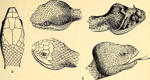 Venomous Snakes Of Missouri Missouris Natural Heritage