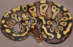 Ball Python Morph Chart 26 Types Of Ball Pythons Morphs Clubfauna