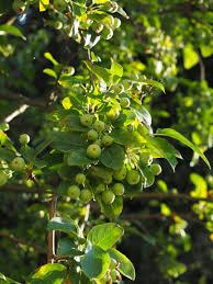 green apple fruit tree. free images : fruit, flower, food, green, produce, small, evergreen, flora, leaves, shrub, fruits, immature, flowering plant, zieraepfel, ornamental apple green fruit tree