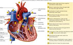 how does blood flow through the heartblood flow through heart