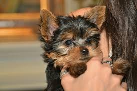 preparing for your new yorkie puppy