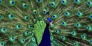 Znalezione obrazy dla zapytania samce zwierząt i ptaków