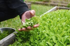 growing microgreens 363
