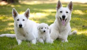 white german shepherd mixed black tan german shepherd. Delighful Mixed German Shepherds Are One Of The Most Popular Breeds Dogs In America The  Mediumtolarge Breed Dog Is Often Used For A Working Many Different  Intended White Shepherd Mixed Black Tan