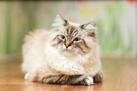 Understanding Himalayan Cat Colors Lovetoknow