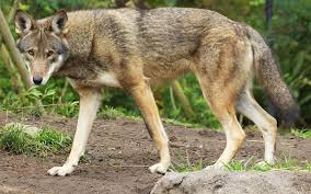 an wolf walking in an enclosure at the zoo