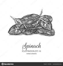 Spinazie Hand Getekende Illustratie Van Inkt En Pen Schets
