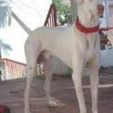 dog breeds in hyderabad breed dogs picture