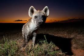 nocturnal desert animals. Delighful Desert South African Photographer Hannes Lochner Has Captured The Wildlife In  Kalahari Desert At Night He Travelled For 300 Days Covering Over 30000 Miles  Inside Nocturnal Desert Animals I