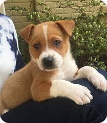 corgi lab mix puppies. Modren Mix Adopted Inside Corgi Lab Mix Puppies A