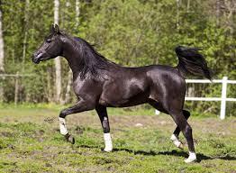 black arabian horse wallpaper. Beautiful Black Black Arabian Horse On Wallpaper O