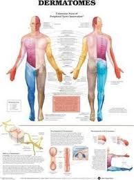 Dermatomes Anatomical Chart Anatomical Chart Company