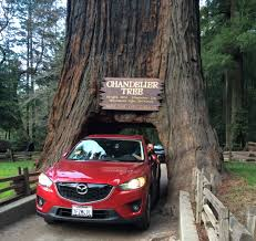drive thru chandelier tree giant sequoia redwood legget california you
