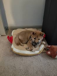 Shiba Inu Growth Chart My Shiba Is 14 Weeks Today And Is Weighing In At 6 4lbs Is
