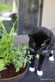A step-by-step tutorial for creating a DIY cat herb garden. Includes
