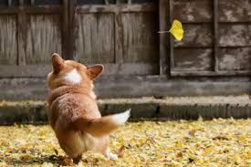 Japan's Star <b>Dog</b> Gen the <b>Corgi</b> Passes Away on Valentine's Day ...