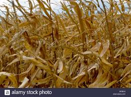 Uncategorized How To Dry Corn Stalks ohio dried corn stalks in the fall  standing field stock