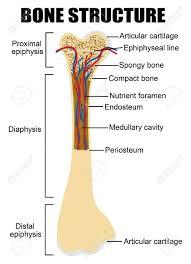 Human Bone Chart Diagram Of Human Bone Anatomy Useful For Education In Schools